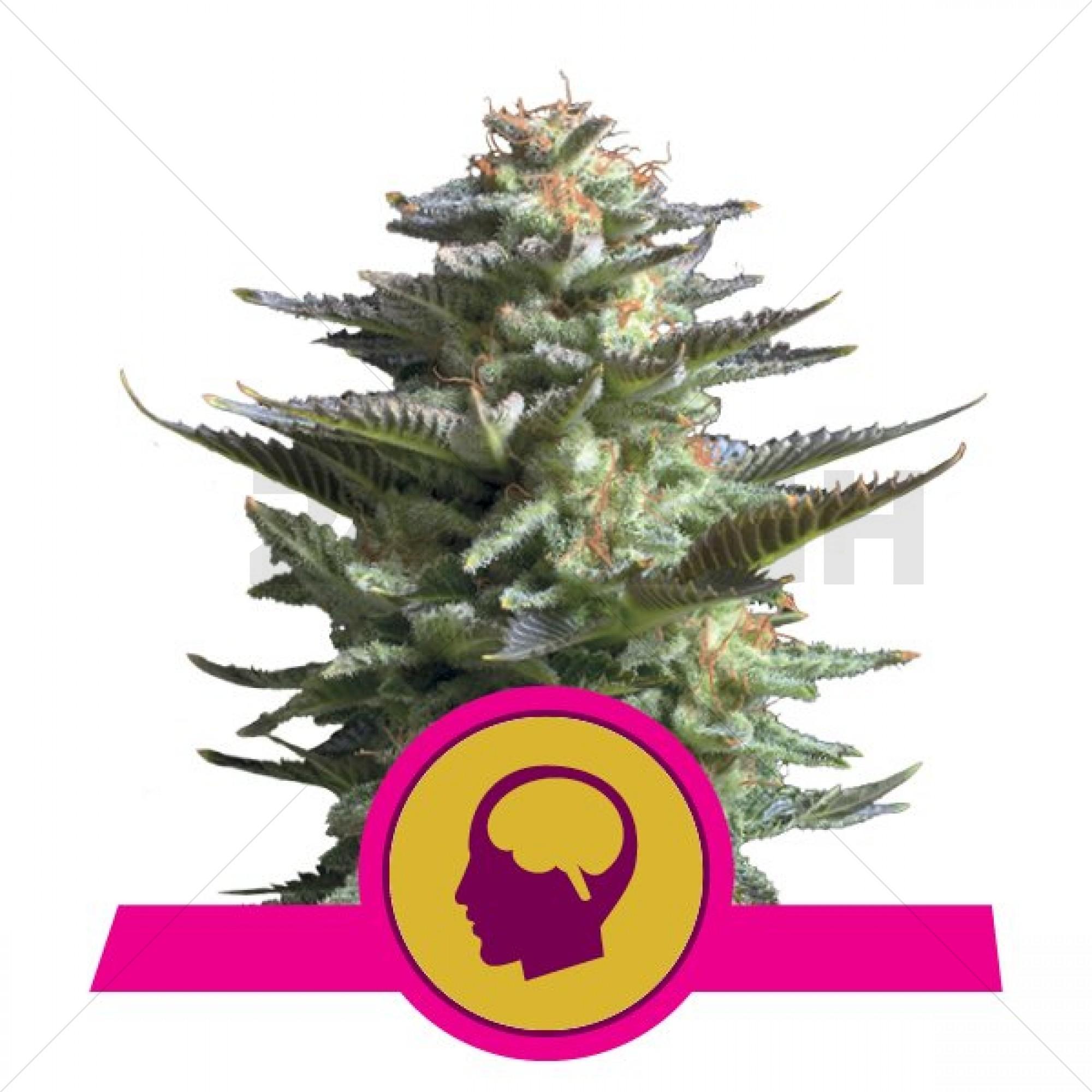 Amnesia Haze Feminised (Royal Queen Seeds)