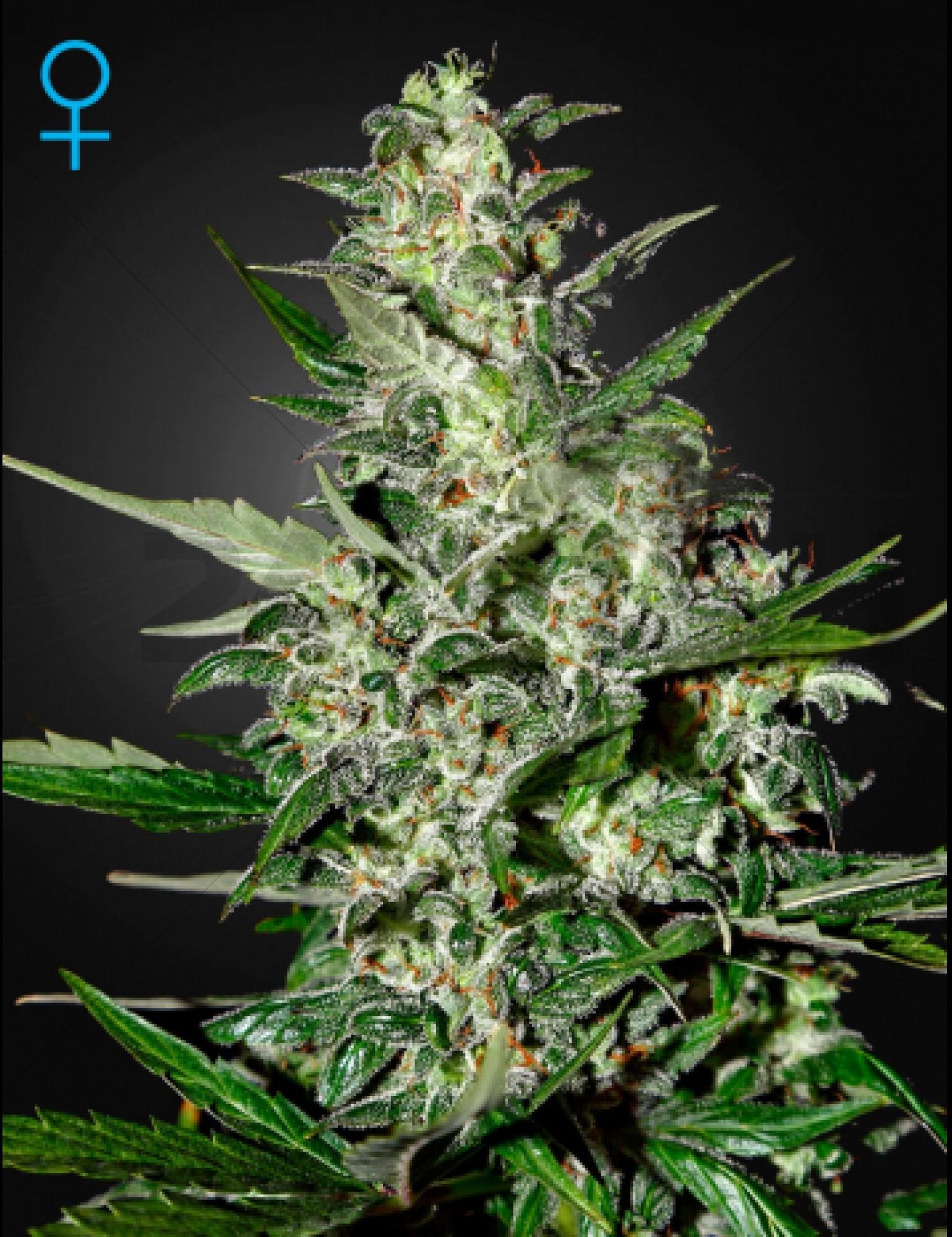 Super Critical (GreenHouse Seeds) Autoflowering