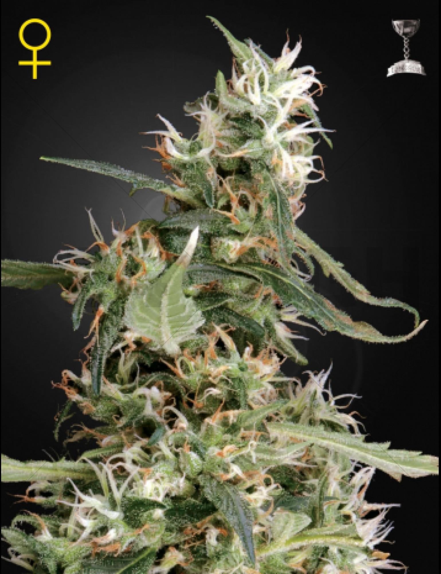 Arjan's Ultra Haze 1 Feminised (Green House Seeds)