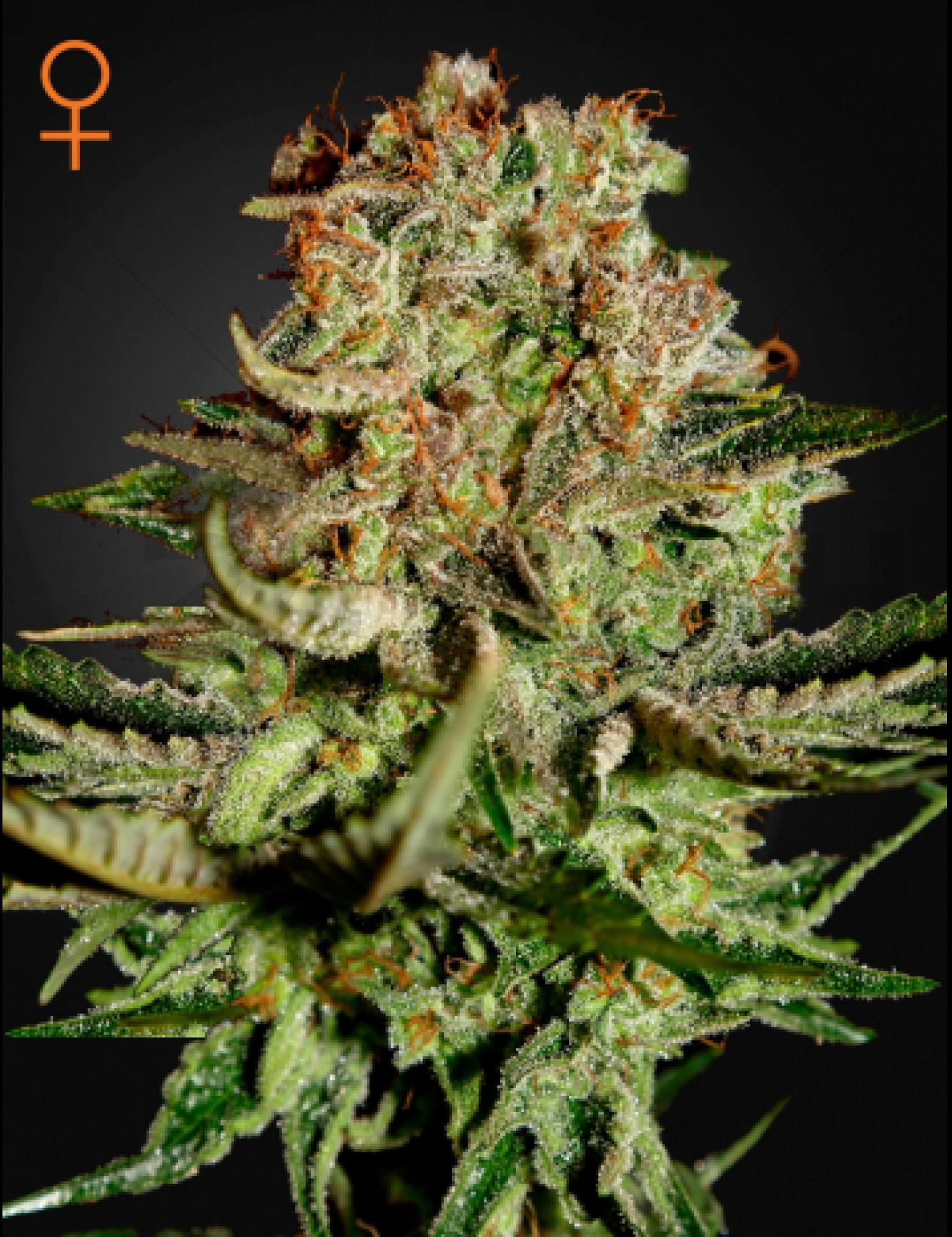 Super Bud Feminised (Green House Seeds)